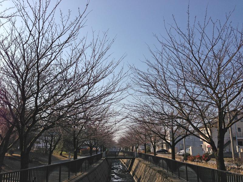 馬場川緑道の桜並木