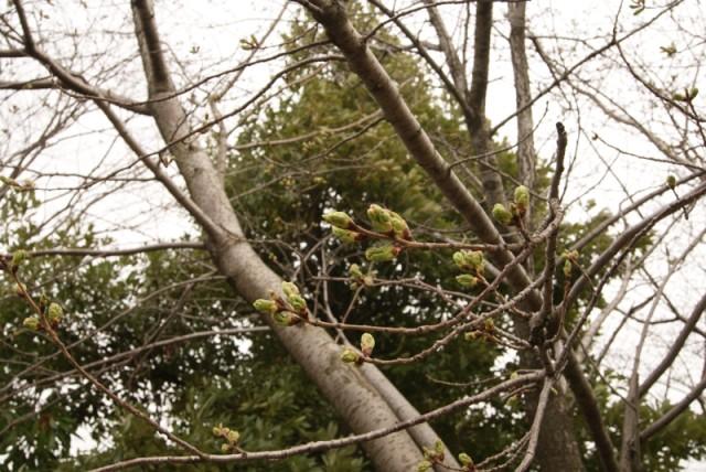 御経塚馬場川緑道の桜の蕾