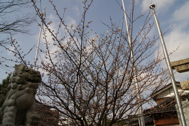 御経塚 佐那武神社の桜