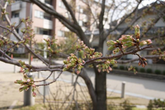 御経塚泉の広場の桜の蕾