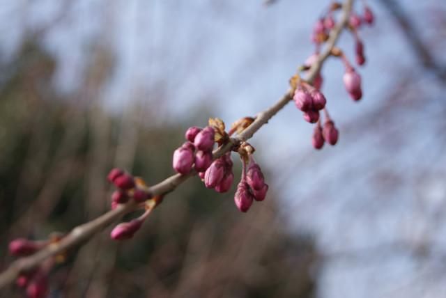御経塚 泉の広場 の枝垂れ桜の蕾