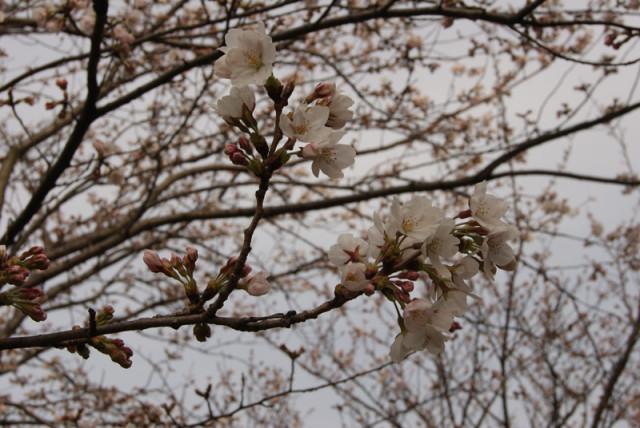 御経塚 馬場川緑道 の 桜