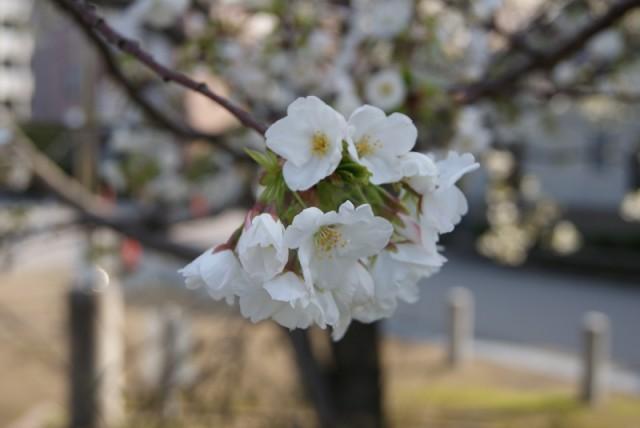 御経塚泉の広場の桜