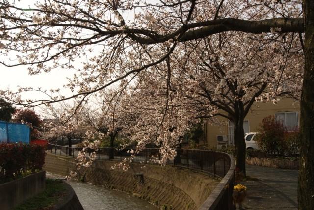 御経塚 御経塚風の広場近く 馬場川緑道の桜