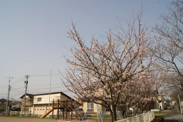 御経塚 御経塚保育園の桜