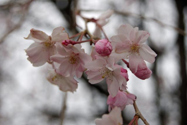 御経塚 線の広場の枝垂れ桜