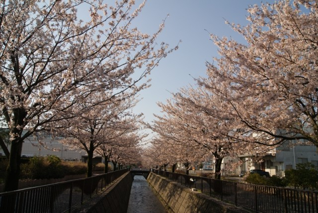 御経塚 馬場川緑道の桜並木