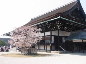 京都御所 右近の桜