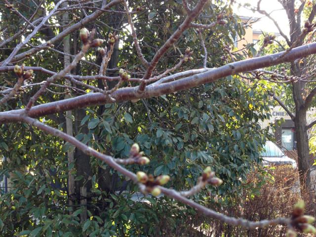 御経塚「泉の広場」の桜のつぼみ