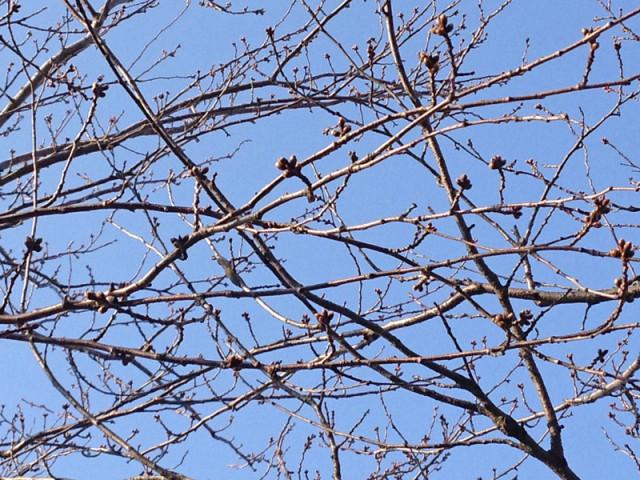 馬場川緑道の桜並木のつぼみ