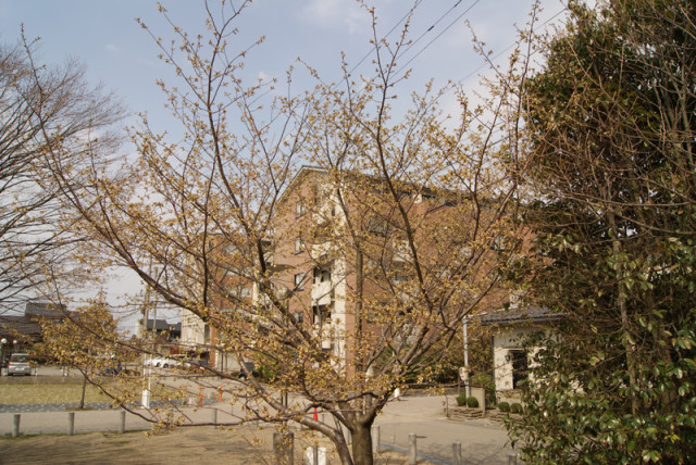 御経塚 泉の広場 の桜