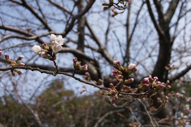 御経塚 馬場川緑道の桜の蕾