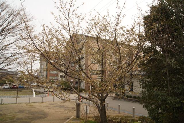 御経塚 泉の広場 の 桜