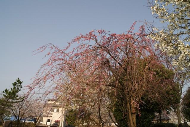 御経塚泉の広場の枝垂れ桜