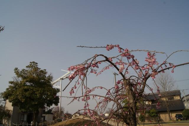 御経塚 御経塚風の広場の桜