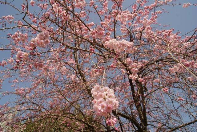御経塚 泉の広場の枝垂れ桜