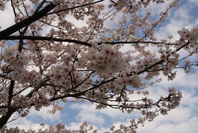 御経塚 馬場川緑道の桜