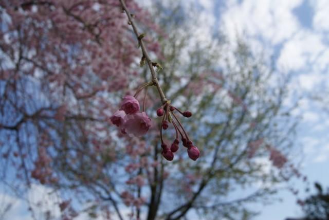 御経塚 泉の広場 枝垂れ桜