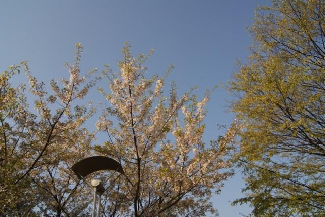 御経塚 泉の広場の桜